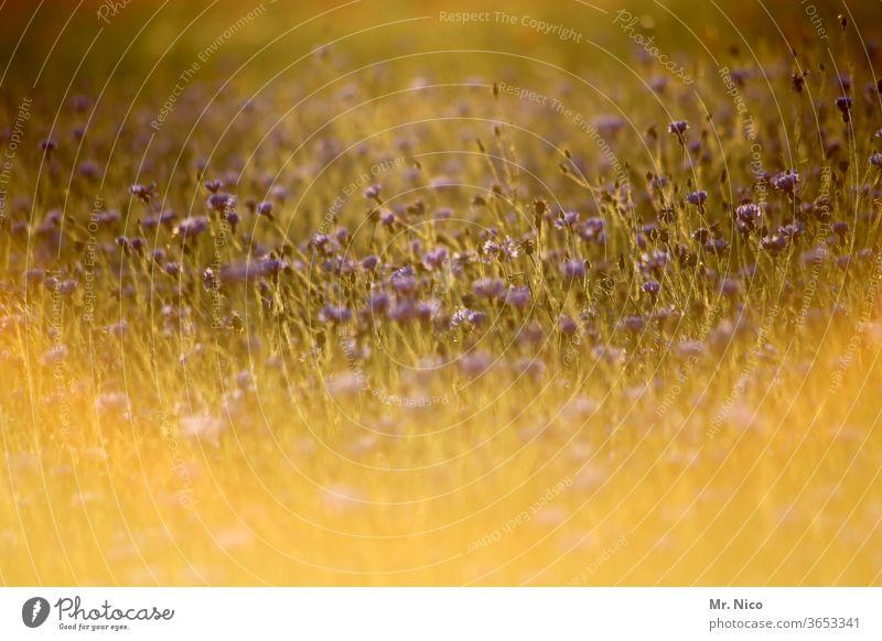 Wildblumen im Gegenlicht Natur Umwelt Pflanze Sommer Landschaft Blumenwiese Wärme Wildpflanze Blüte sommerlich Duft Wiesenblume Sommertag frisch grün gelb