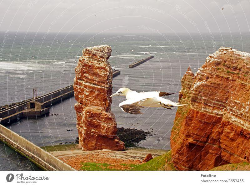 So frei! - oder ein Basstölpel schwebt an der Langen Anna auf Helgoland vorbei und sucht seine Geliebte. Vogel Natur Tier Farbfoto Außenaufnahme Tag Wildtier 1