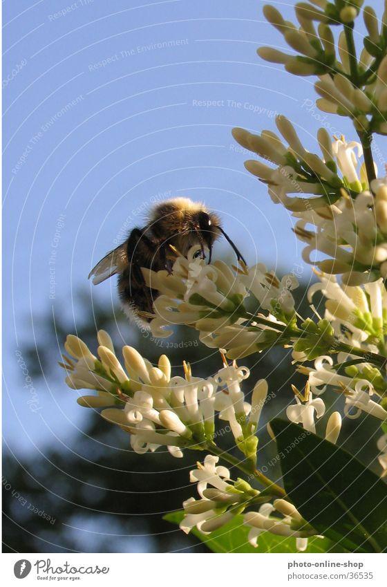 Zwischen Himmel und Erde Insekt Hummel Hautflügler