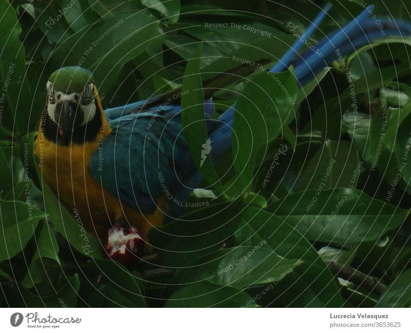 Blau-gelber Ara (Ara araurana) beim Fressen an einem Baum. Papageienvogel Vogel Tier Tierporträt exotisch Natur Schnabel