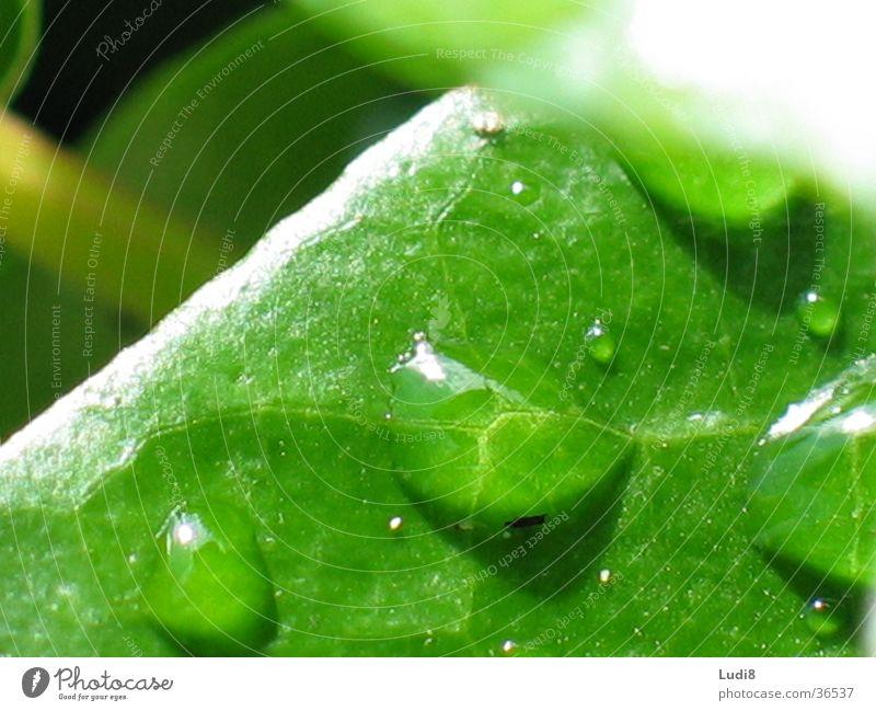 Platzregen Blatt Efeu Regen Wasser Wassertropfen Nahaufnahme Makroaufnahme