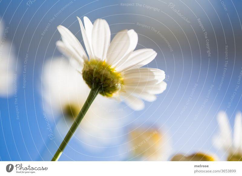 Margarite im Sonnenlicht Sommer sommerlich blauer Himmel weiß gelb Blumenwiese Blumenstiel blühend Stil Design Natur schönes Wetter Blüte Gartenpflanzen