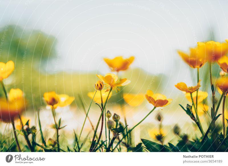 Butterblumen auf den Feldern Blume Blumen Blumenwiese gelb Nahaufnahme Natur Wiese Farbfoto Wiesenblume Außenaufnahme Frühling Blühend Gras Garten Sommer Blüte