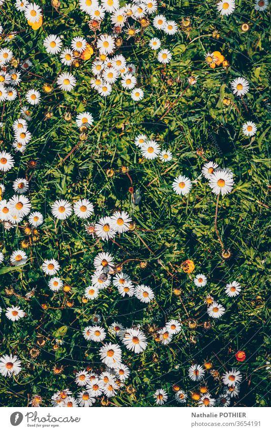 Gänseblümchen im Gras, Flatlay Margeriten flache Verlegung Natur Blume grün Farbe geblümt Blumenwiese natürlich Frühling Wiese Sommer Blühend Garten Wiesenblume