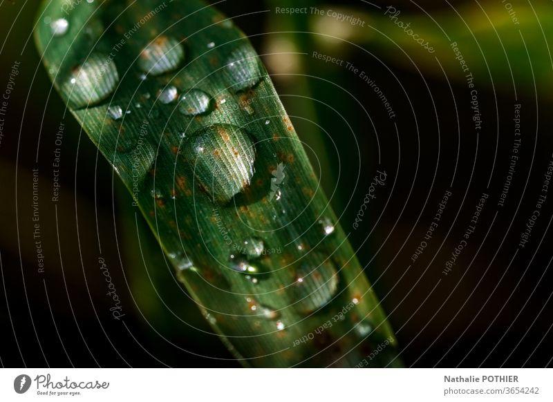 Wassertropfen am Grashalm Tropfen Halm grün schwarzer Hintergrund Licht Regen Natur Nahaufnahme Außenaufnahme Detailaufnahme Makroaufnahme nass Morgen Pflanze