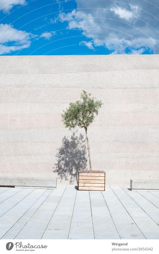 Olivenbaum vor Mauer Himmel modern puristisch ästhetisch Pflanze Architektur Beton Betonwand grün Sommer Menschenleer Fassade Bauwerk kahl öde