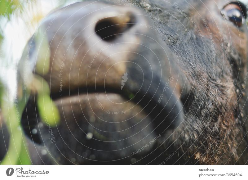 kuhschnauze mit auge Tier Rind Kuh Kuhkopf Tiergesicht Schnauze Nase Auge Fell Nutztier Nahaufnahme Tierporträt Landwirtschaft Weide Blick Neugier Rindvieh Mund