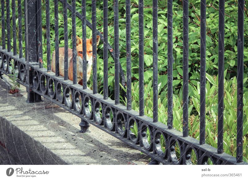 Ich sehe dich. Natur Pflanze Gras Sträucher Garten Tier Wildtier Fuchs 1 natürlich Stadt wild grün Schutz achtsam Wachsamkeit Vorsicht bedrohlich bewachsen