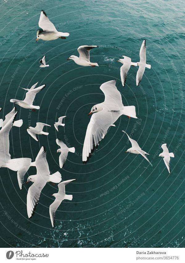 Möwen über dem Meer Vögel fliegen MEER Wasser Möwenvögel Freiheit Natur Außenaufnahme Farbfoto Wildtier Zusammensein Freunde Flug laufen Truppe Schwarm Rudel
