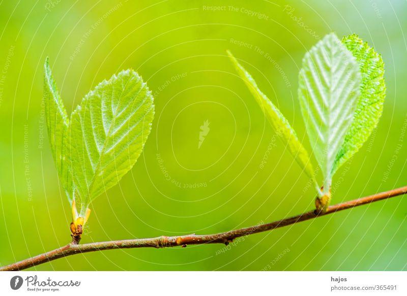 Baum Knospe grün Pflanze Blatt Wald Frühling Wachstum Mai Laubbaum