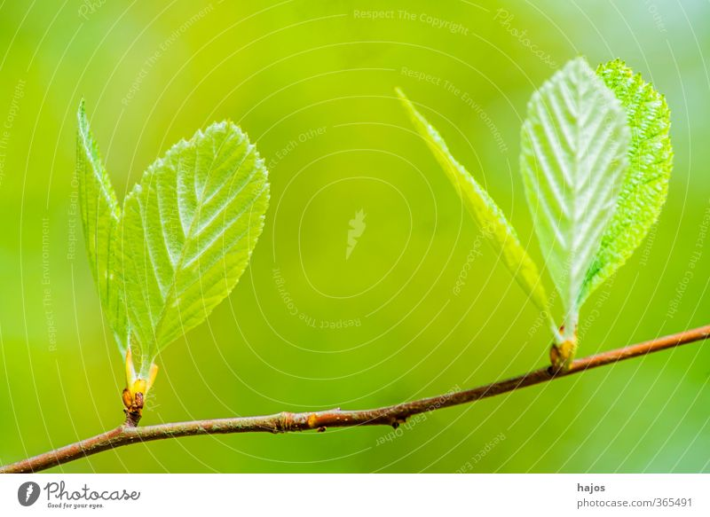 Baum Knospe Pflanze Frühling Blatt Wald Wachstum grün Antrieb Austrieb Trieb Schößling Schoß jung treiben antreiben Laubbaum Mai Farbfoto Außenaufnahme