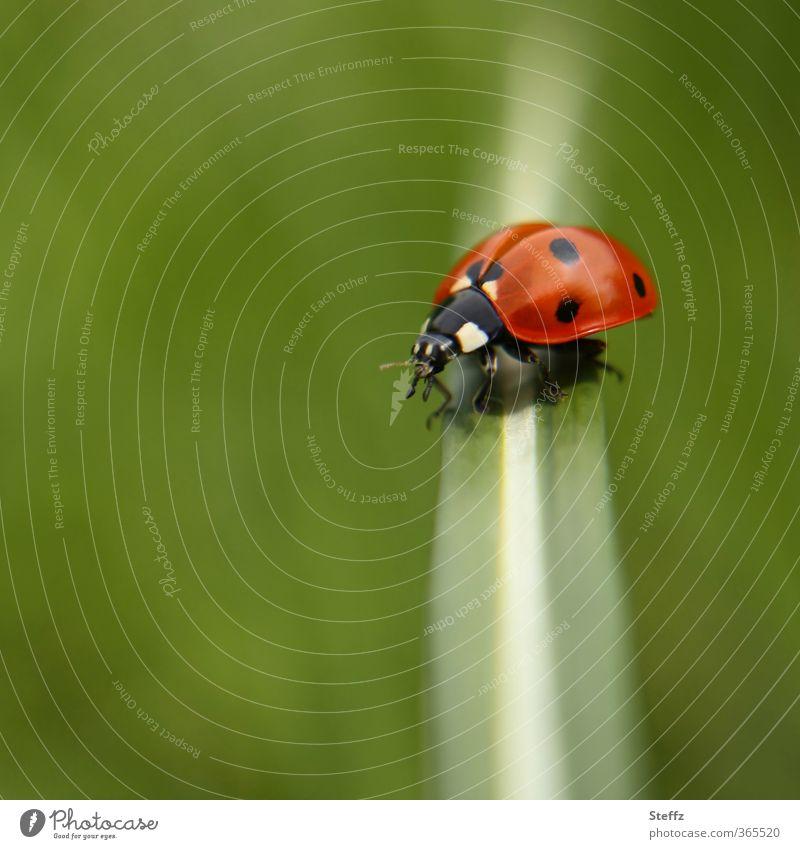 quer und längs Natur Sommer Gras Käfer Marienkäfer krabbeln natürlich schön grün rot Sommergefühl Glück Leichtigkeit stoppen Glücksbringer grasgrün grün-rot