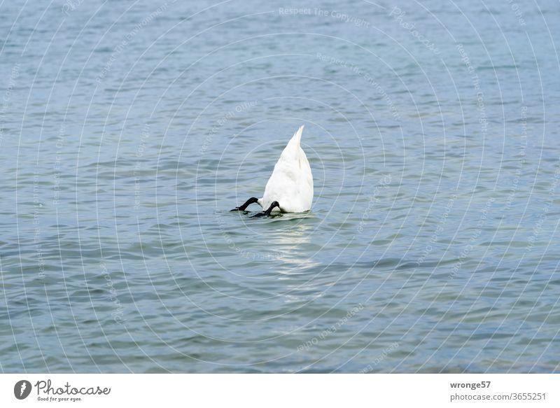 Weißer Schwan kopfüber im Wasser zur Nahrungsaufnahme getaucht Vogel weißer Schwan Tier See Natur tauchen untertauchen fressen gründeln Außenaufnahme Farbfoto