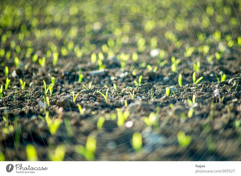 Maisfeld mit Jungpflanzen Lebensmittel Getreide Landwirtschaft Forstwirtschaft Pflanze Frühling Feld grün Setzling Anbau Reihen Hintergrundbild unscharf