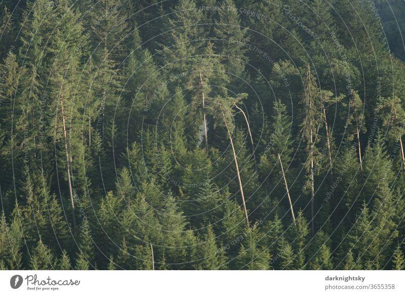 Misch Wald mit Kiefern und Fichten Forst Außenaufnahme Natur Farbfoto Baum Menschenleer Umwelt Klimawandel Pflanze Landschaft Forstwirtschaft Tag Landwirtschaft