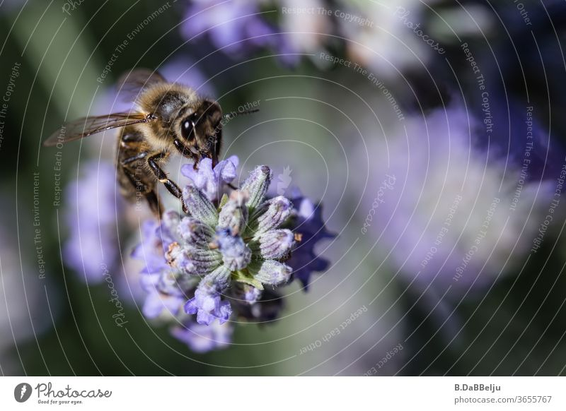 Der Lavendel ist wie ein Magnet für die unermüdlich sammelnden Bienen. Insekten Insektenschutz insektensterben Farbfoto Makroaufnahme Außenaufnahme Pflanze