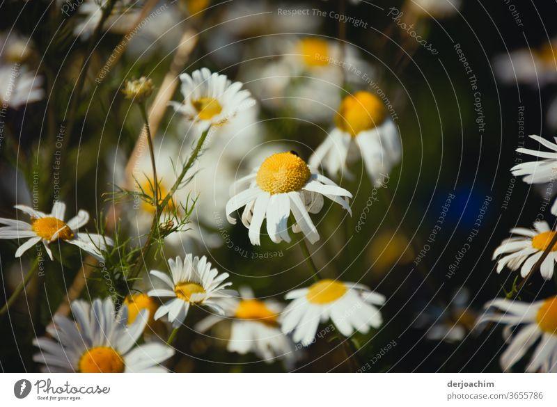 Margeriten entblättertern sich. Pflanze Natur Blume grün weiß schön natürlich Blütenblatt Sommer frisch Nahaufnahme geblümt gelb Farbe Farbfoto Blatt hell