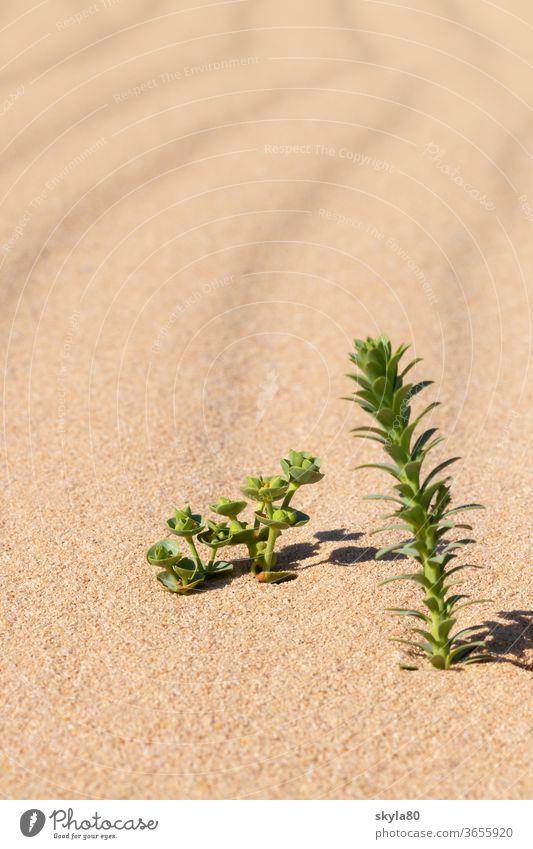 Wüstensonne Wüstenpflanze Natur Sonnenlicht Sand Wärme Dürre Umwelt Düne Landschaft Ferien & Urlaub & Reisen Tourismus Abenteuer Sommer heiß Ferne