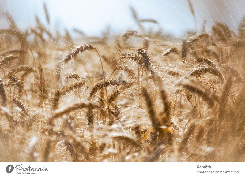 Ährchen von Weizen auf dem Feld aus nächster Nähe Ackerbau Arme Herbst Hintergrund blau Botanik bowery hell braun schließen abschließen Nahaufnahme Farbe Ernte