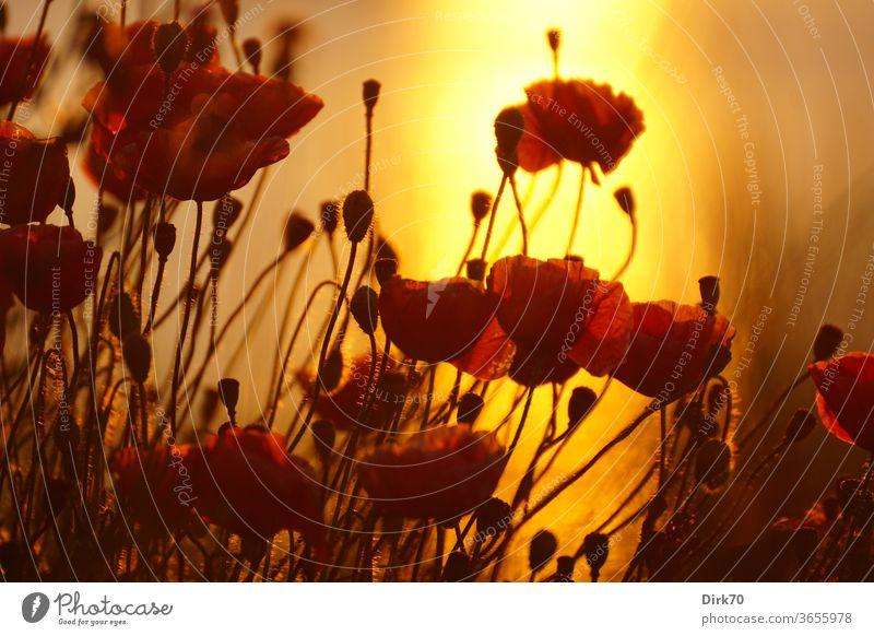 Mohn im Sonnenuntergang Mohnfeld Mohnblume mohnblumen Mohnblüte Mohnblüten rot orange Sommer Sonnenlicht Wärme Abend Abendlicht Gegenlicht