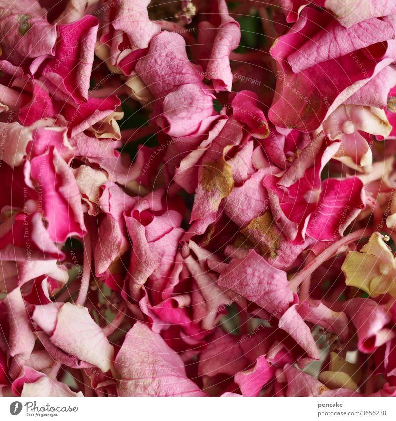 alle blumen welken Blüte Blütenblätter verwelkt Trockenheit rosa Nahaufnahme Struktur blühen Garten Blume Hortensie Hydrangea
