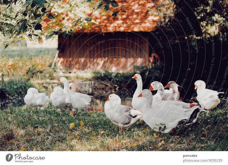 einen sommer lang Federvieh Gans Gänse Herde Sommer Bauernhof Hütte warm Gruppe Weihnachtsgans Schatten lagern Lager Tierporträt Wiese Nutztier Vergangenheit