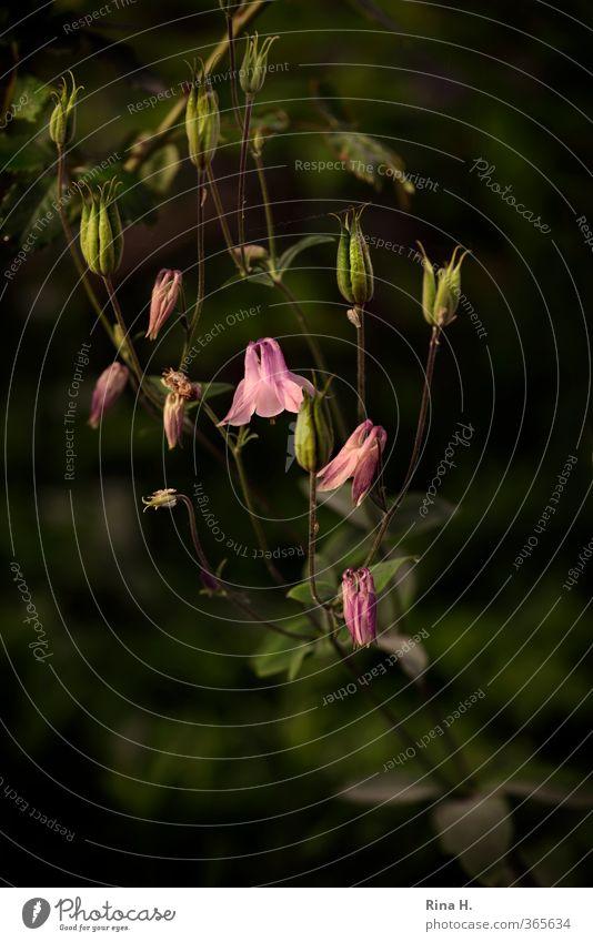 Akelei Sommer Pflanze Blume Frühling Blüte rosa ästhetisch Blühend malerisch Samen