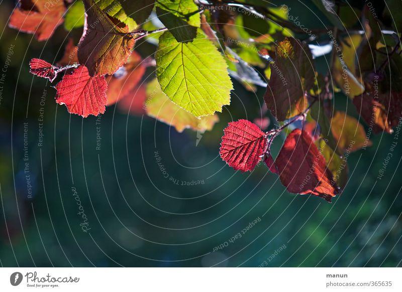 Leuchtfarben Natur Frühling Herbst Baum Blatt Zweige u. Äste Haselnussblatt leuchten natürlich mehrfarbig grün rot Farbfoto Außenaufnahme Menschenleer
