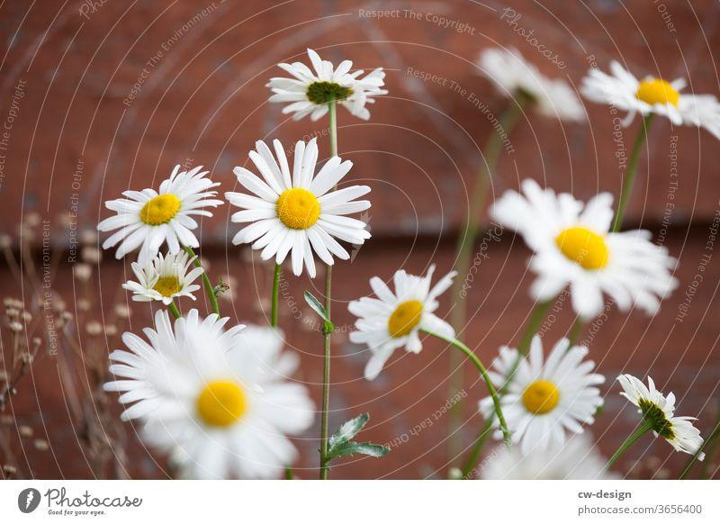 Gänseblümchen vor Holzhütte Blume Sommer Frühling weiß Blütenblatt Natur Pflanze geblümt Hintergrund Garten Korbblütengewächs frisch romantisch schön gelb