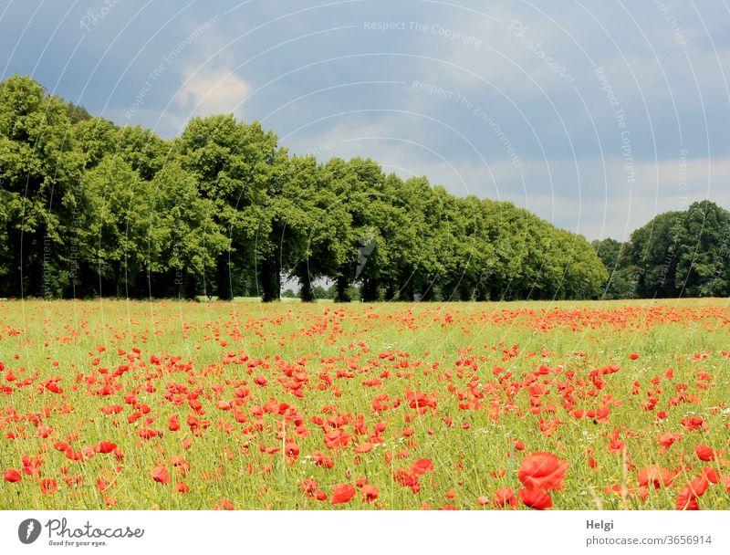 Mo(h)ntag - jede Menge Klatschmohn auf einem Feld neben einer Baumreihe mit bewölktem Himmel Mohn Mohnblumen Mohnfeld Blume Blüte Mohnblüte Sommer Allee Wolken