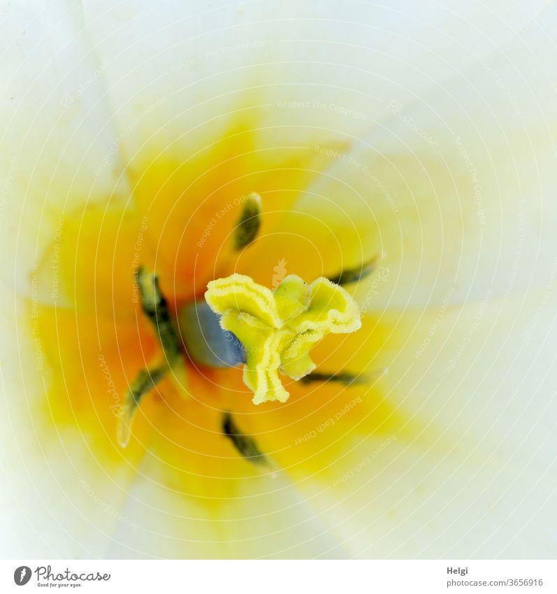 mitten drin - Makroaufnahme von Narbe und Pollen einer gelb-weißen Tulpenblüte Blume Blüte Griffel Fruchtknoten Staubbeutel Staubfaden Blütenstempel Staubgefäße