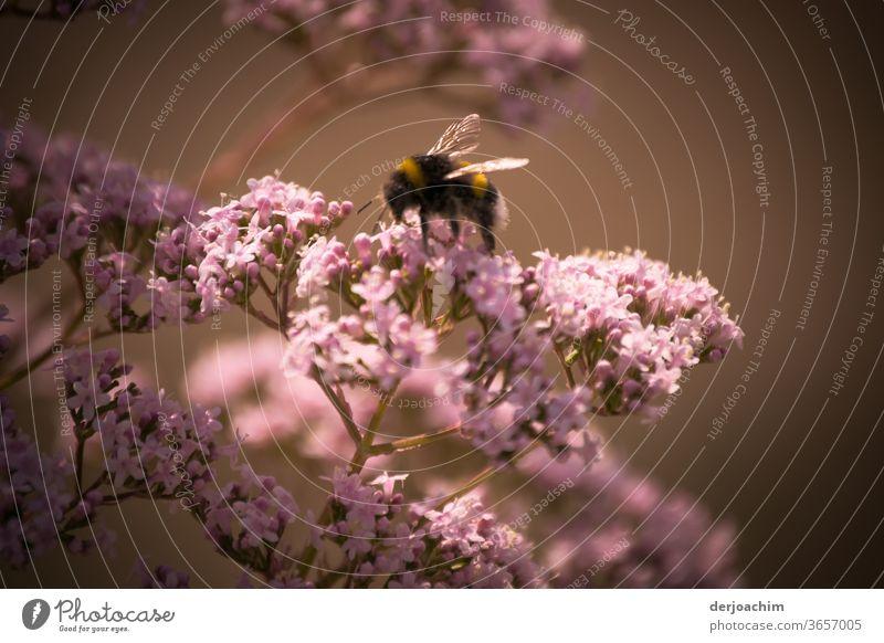 Fleißig auf der Pollen Suche. Eine Hummel sitzt auf einem rosa Blütenstrauch mit dunklem Hintergrund. Biene Insekt Pflanze Honig Tier Natur Nektar Nahaufnahme