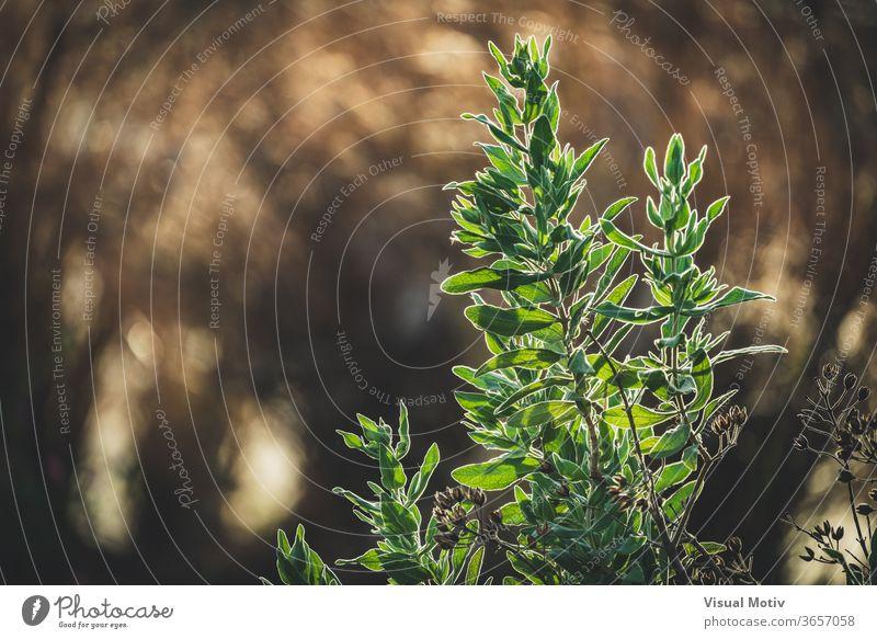 Immergrüne Blätter von Cistus albidus, auch als Zistrose bekannt Pflanze Felsenrose Blatt Garten Sommer sonnig Natur Strauch Botanik vegetieren organisch Saison
