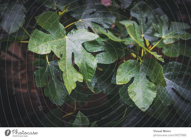 Regentropfen auf den Blättern eines Feigenbaums Blatt Baum nass Garten Tropfen grün Wetter Pflanze Natur Wachstum Flora frisch Ast Botanik Laubwerk Umwelt