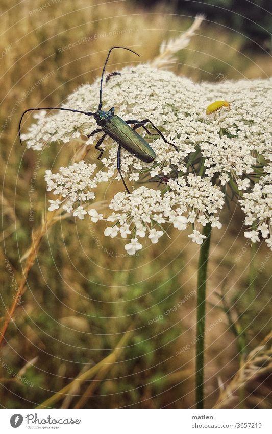 männlicher Moschusbock auf Dolde dolde Bärenklau Wiese Schwefelkäfer Flora Fauna Sommer menschenleer mobil