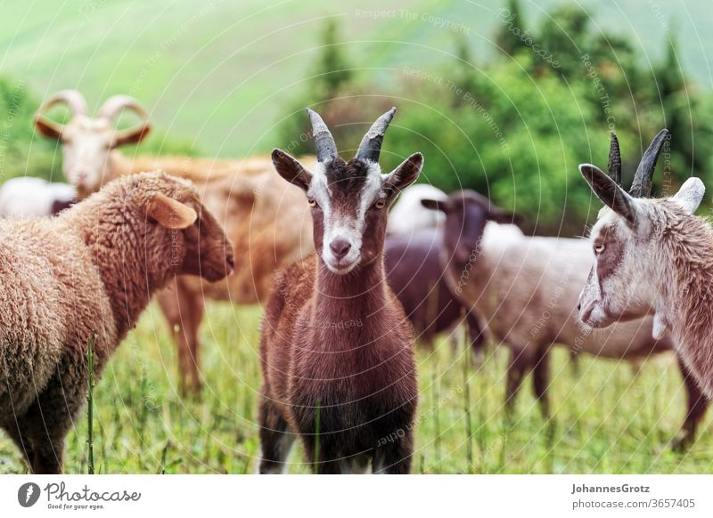 Ziege auf einer Weide inmitten einer Herde blickt in die Kamera ziege souverän stur portrait lustig wild lebende tiere herde süß niedlich natur Hörner braun
