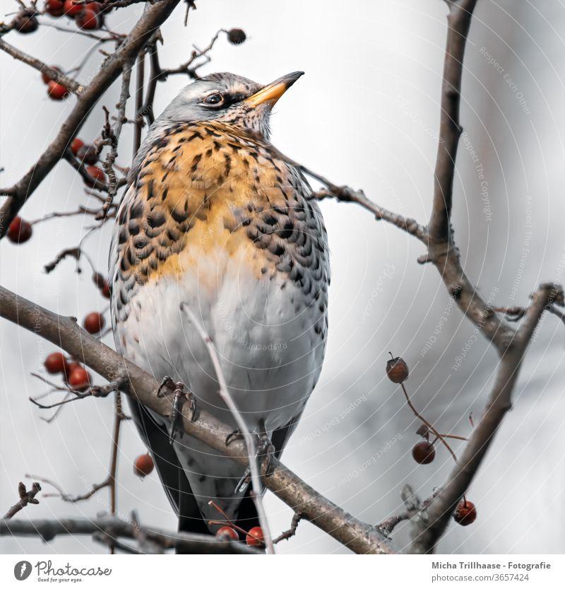 Wacholderdrossel im Beerenstrauch Turdus pilaris Drossel Tiergesicht Kopf Schnabel Auge Gefieder Federn Flügel Wildtier Vogel Tierporträt Baum Zweige u. Äste