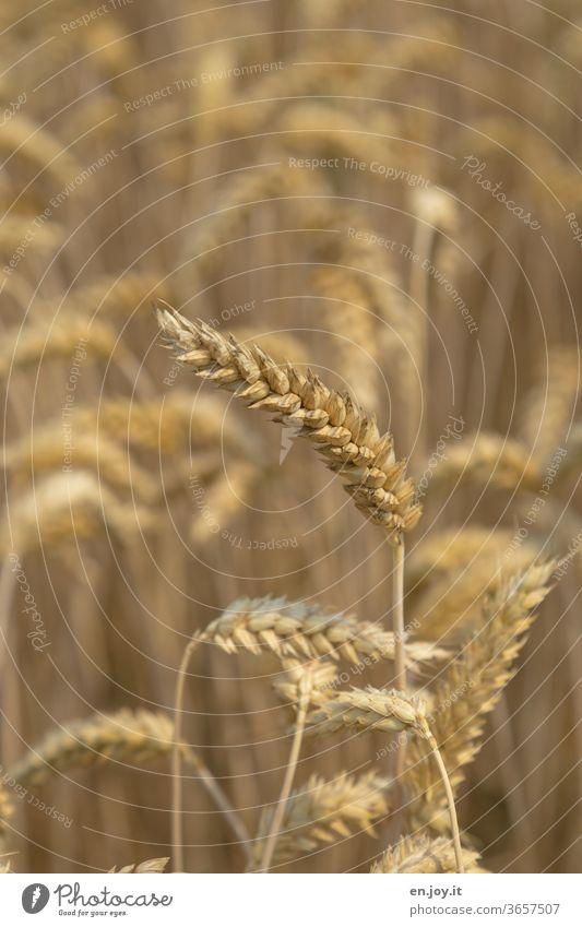 Weizenähre im Weizenfeld Ähre Getreide Getreidefeld Feld Landwirtschaft Nutzpflanze Ähren Kornfeld Ackerbau Wachstum Ernährung ökologisch Lebensmittel Ernte