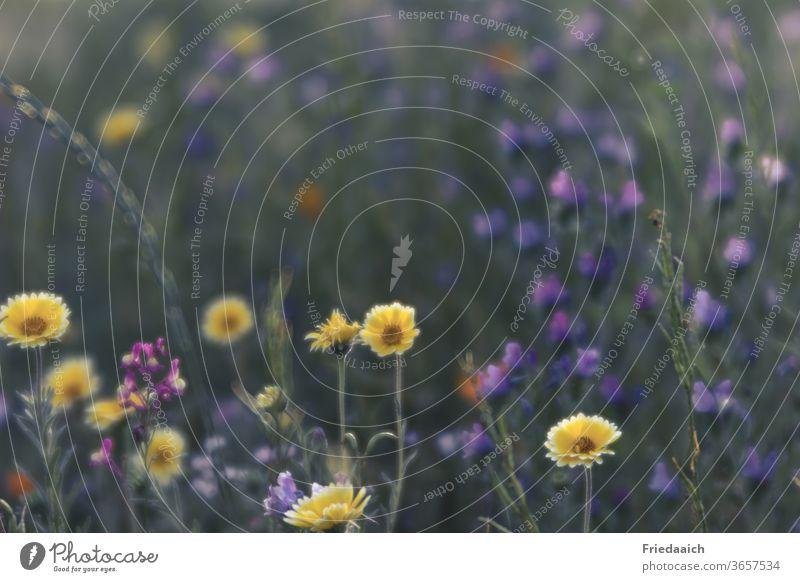 Sommerblumen-Bienenwiese bunt Blumenwiese Bienenweide Natur Farbfoto Freude Außenaufnahme Blühend mehrfarbig Umwelt
