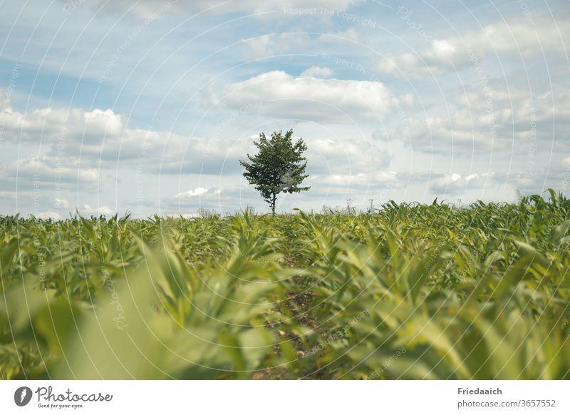 Ein Baum am Horizont hinter dem Maisfeld Natur Außenaufnahme Landschaft Umwelt Himmel natürlich Feld Tag Nutzpflanze grün Ackerbau Landwirtschaft Sommer
