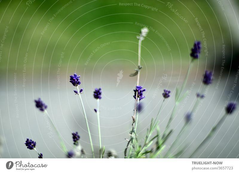 Einige kleine Lavendelblüten vor unscharfem grauen Gartenweg und Wiesengrün violett Pflanze Sommer Nahaufnahme Blüte Blühend Schwache Tiefenschärfe Tag