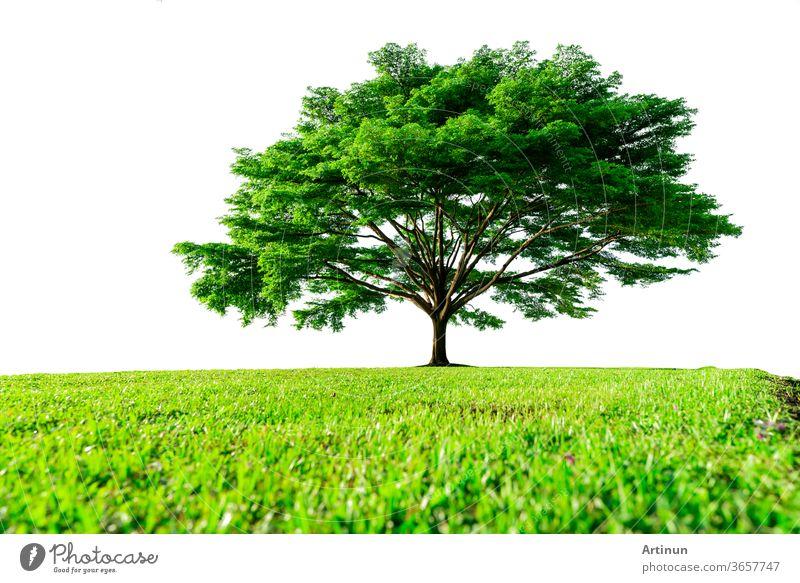 Großer grüner Baum mit schönen Ästen und grünem Grasfeld, isoliert auf weißem Hintergrund. Rasen im Garten im Sommer. Sonnenschein zu großem Baum auf grünem Grasfeld. Naturlandschaft. Dekoration des Parks.