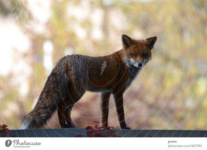 Stadtfuchs Umwelt Natur Tier Herbst Wildtier 1 braun rot Fuchs Berlin Blick Farbfoto Außenaufnahme Menschenleer Textfreiraum links Textfreiraum oben Tag
