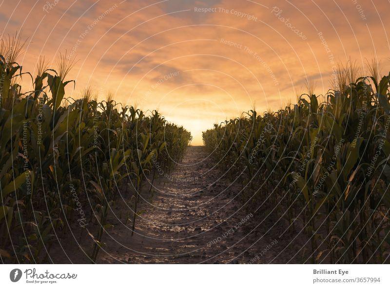 Weg zwischen zwei Maisfeldern in der Abendsonne 3d landwirtschaftlich Ackerbau Hintergründe Müsli Ernte kultiviert Umwelt Bauernhof füttern Feld Laubwerk