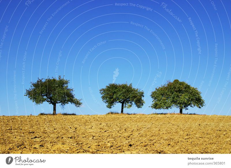 Drei Apfelbäume Umwelt Natur Landschaft Pflanze Erde Frühling Sommer Schönes Wetter Baum Feld Wald heiß blau braun gelb gold grün 3 Himmel Farbfoto