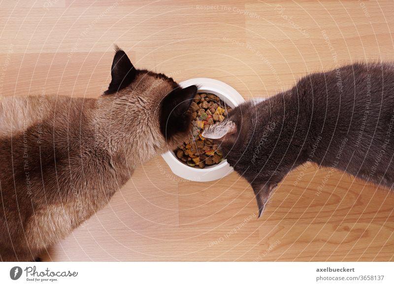 Zwei Katzen teilen sich Katzenfutter und Fressnapf Trockenfutter Fressen Futternapf Napf Haustier Hauskatze Tier Schalen & Schüsseln Lebensmittel Essen hungrig