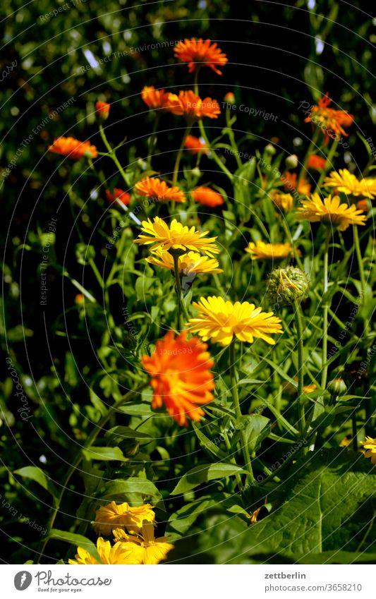 Calendula officinalis abend blitzlicht blume blühen blüte dunkel erholung ferien garten kleingarten kleingartenkolonie menschenleer natur pflanze ruhe