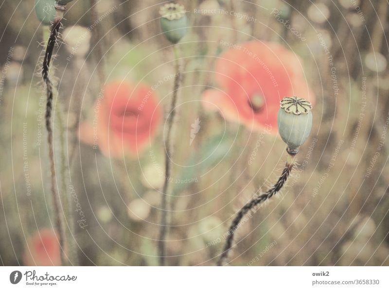 Verblassende Erinnerung Flora Natur Farbfoto rot Blüte Blühend Wiese Mohnblüte Frühling draußen Außenaufnahme Textfreiraum oben bewegen Duft