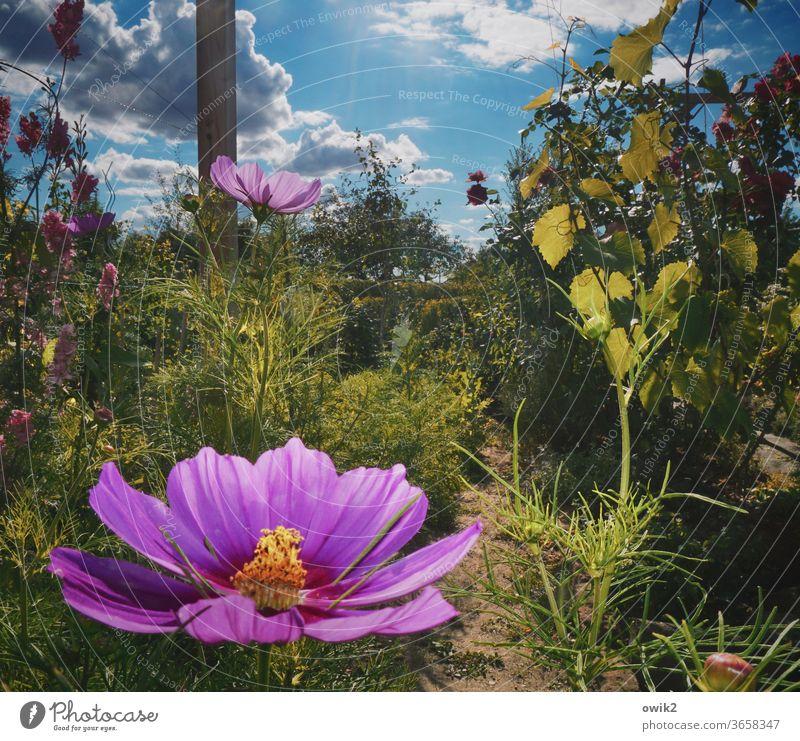 Musterblume Cosmea Blumen Blüten blühend Sommer Menschenleer leuchtende Farben Außenaufnahme Blühend Schwache Tiefenschärfe Pflanze Natur Nahaufnahme