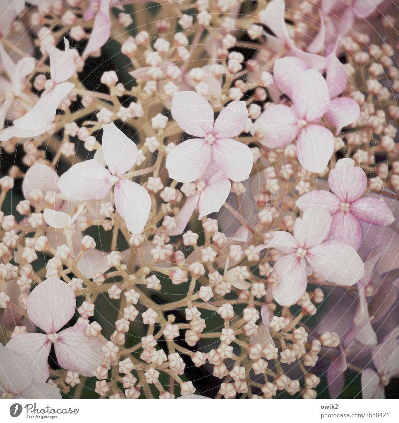 Hydrangea Umwelt Natur Pflanze Schönes Wetter Zierde Zierpflanze Blüte Sträucher zierlich zerbrechlich Blütenknospen Wachstum klein nah Idylle Leben